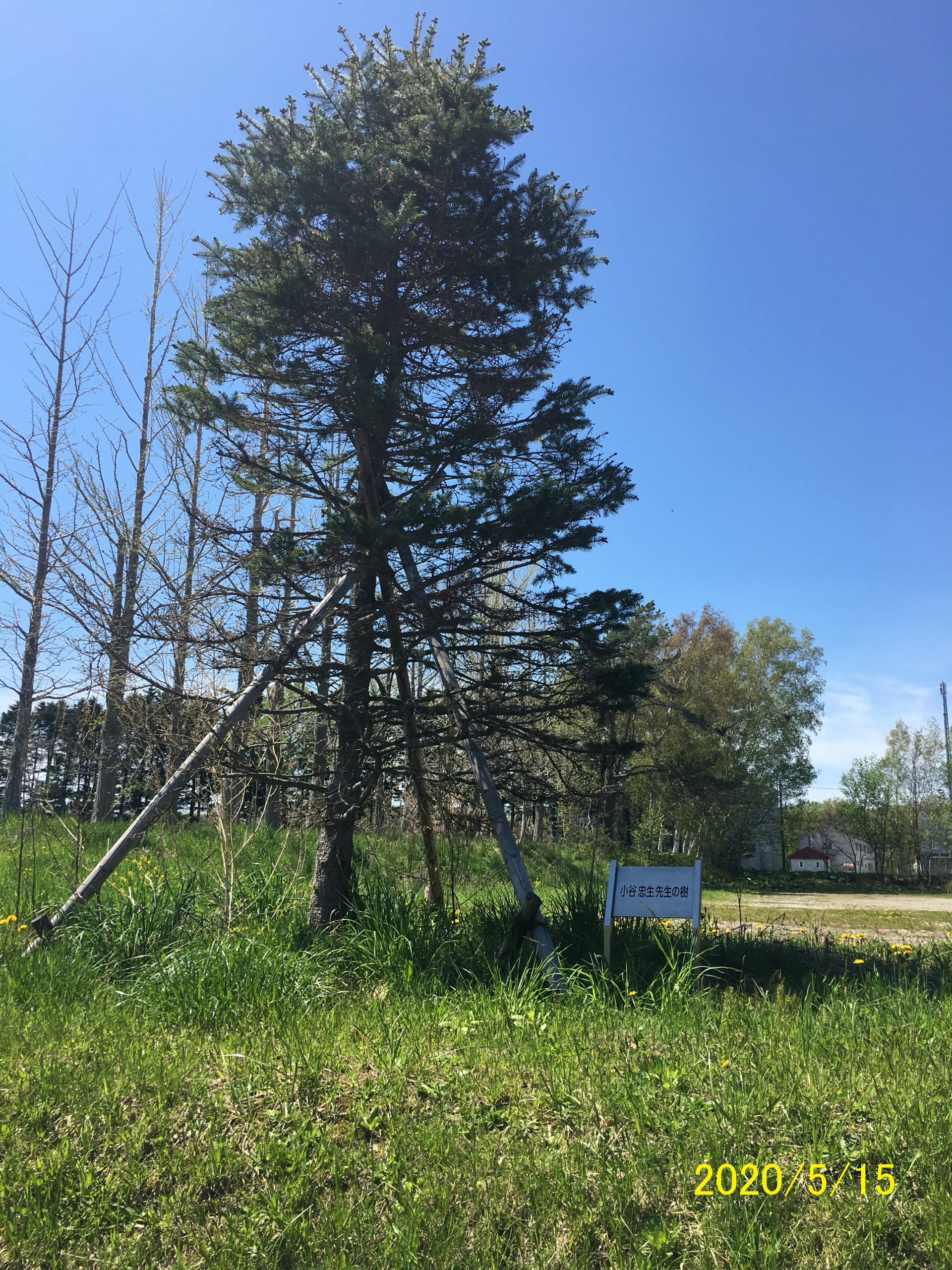 小谷先生の樹、移設